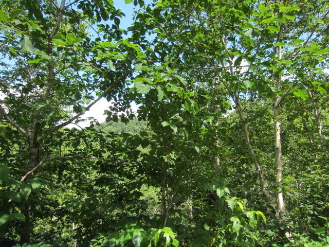 ブナの森 2012