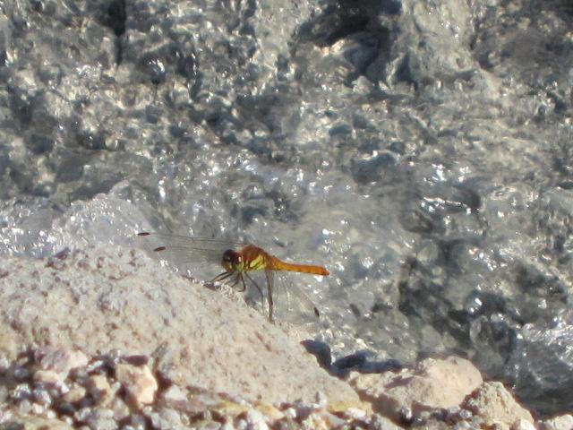 トンボ 2012玉川温泉