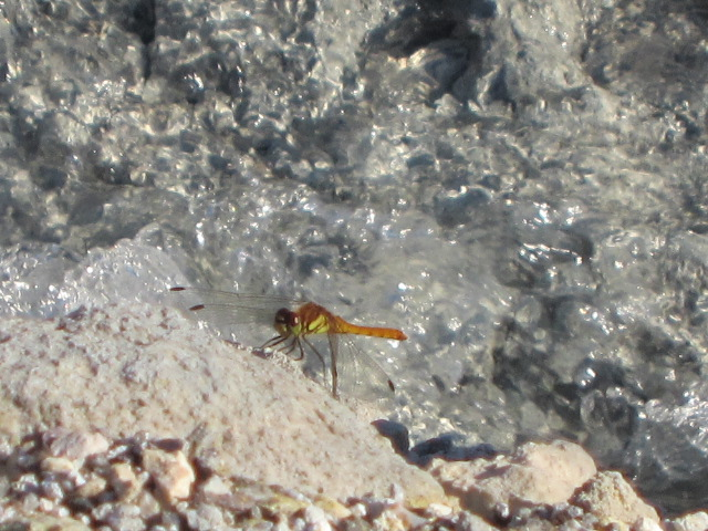 玉川温泉のトンボ