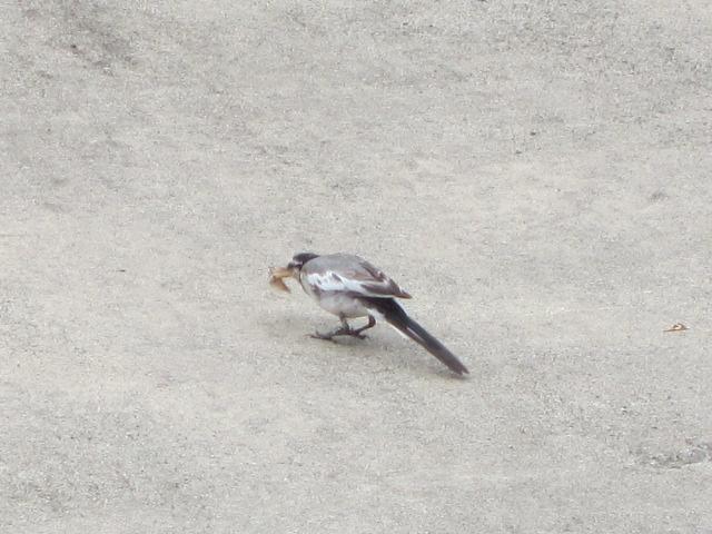 蛾をついばむトリさん 2012 玉川温泉