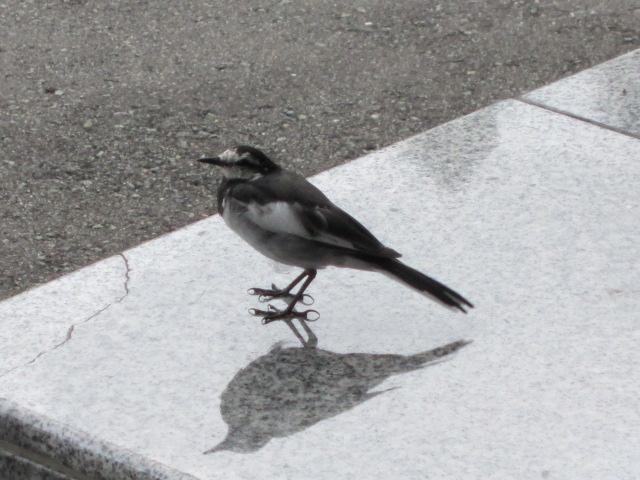 ハクセキレイ? 2012 玉川温泉