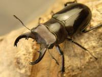 クロアシミヤマ原名亜種42