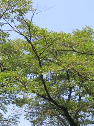 H2508015桜木