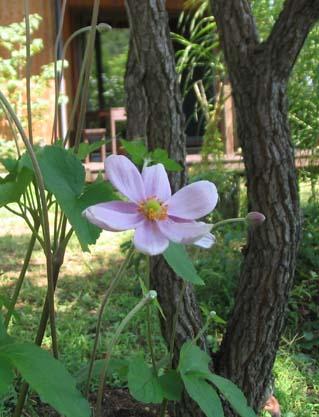 H250829 秋明菊