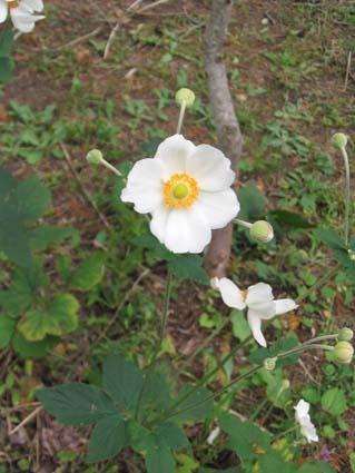 H251001秋明菊