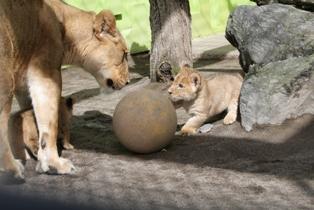 ライオン・赤ちゃん