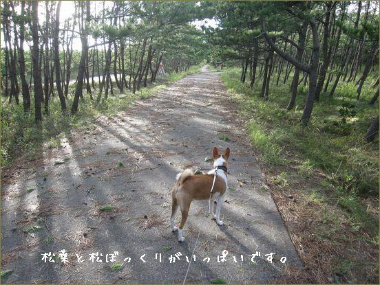 松が2本倒れて道をふさいでいました。