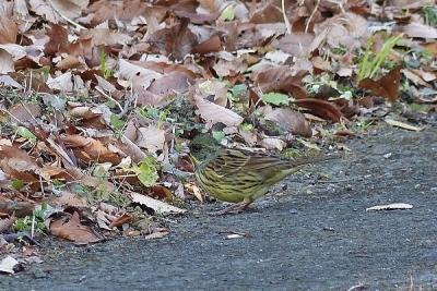 鳥アオジ140107昭和記念公園 (153)T済、S済