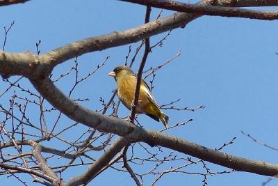 鳥カワラヒワ140107昭和記念公園 (3)S済