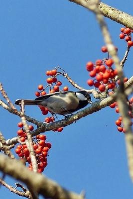 鳥シジュウカラ140107昭和記念公園 (174)T済、S済