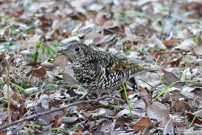 鳥トラツグミ140107昭和記念公園 (4)S済