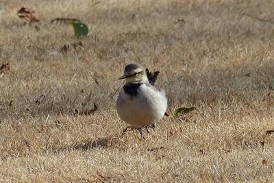 鳥ハクセキレイ140107昭和記念公園 (8)T済、S済