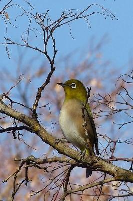 鳥メジロ140107昭和記念公園 (6)T済、S済