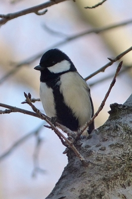鳥シジュウカラ140112府中市郷土の森 (61)T済、S済