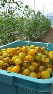 黄色いミニトマト