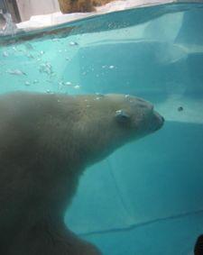 水中白熊くん