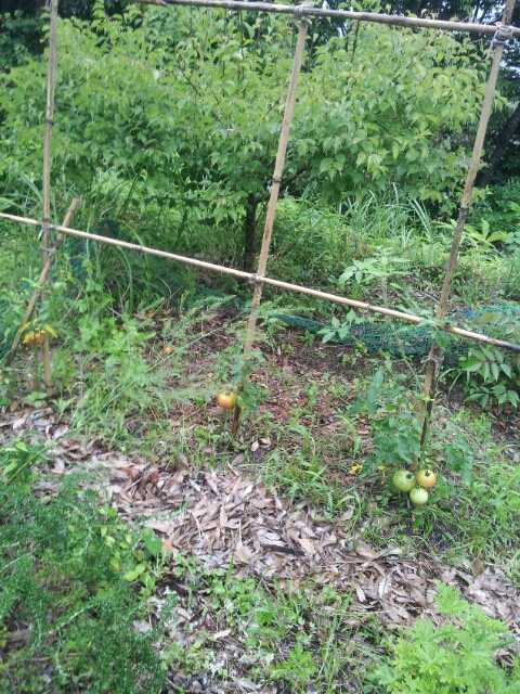 トマトが実ってまーす
