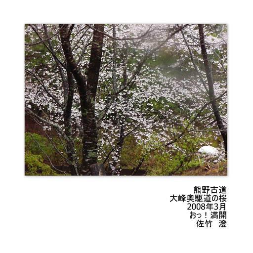 熊野古道・桜