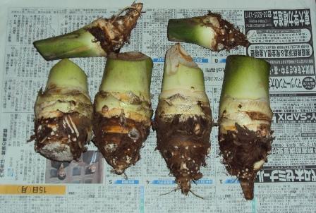 竹の子イモ