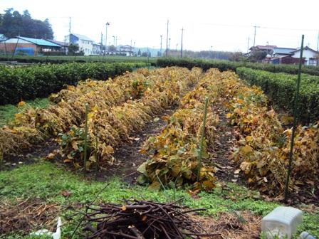 大豆の葉が大枯れてきた