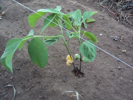 風で根本を揺さぶられた大豆
