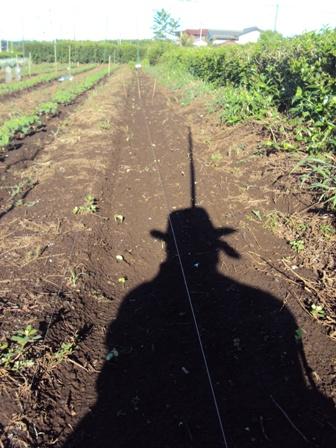 大豆の発芽畝全体