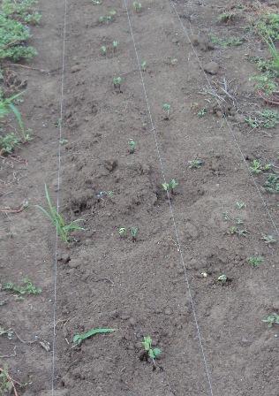 発芽した大豆:種蒔き後5日目