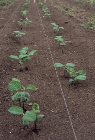 発芽した大豆:種蒔き後9日目