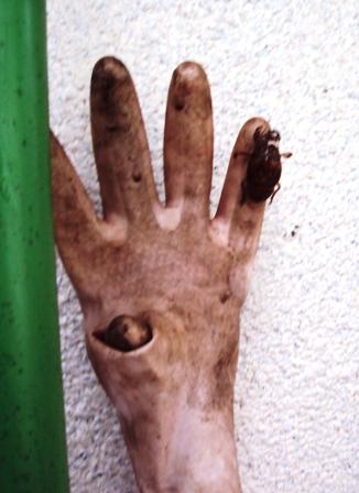 ゴム手袋で羽化した蝉の抜け殻