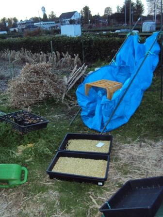 大豆の脱穀風景