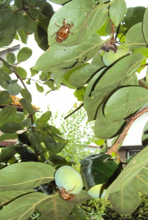 柿の実d3え羽化した蝉