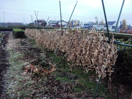 大豆の天日干し