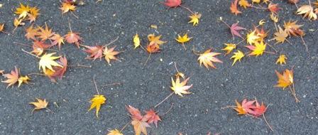 紅葉したかえでの落ち葉
