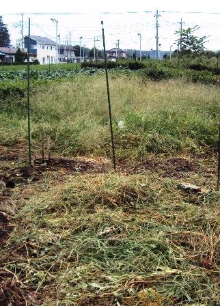 片付け途中のスイカ畑