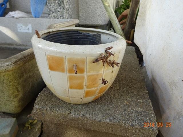 鉢の周りにいるミノムシ