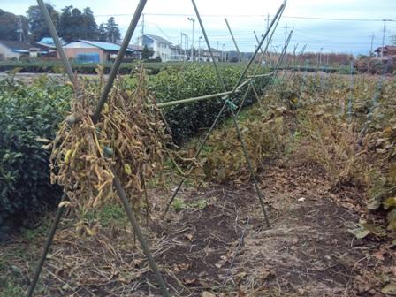 枯れ始めた大豆と天日干し