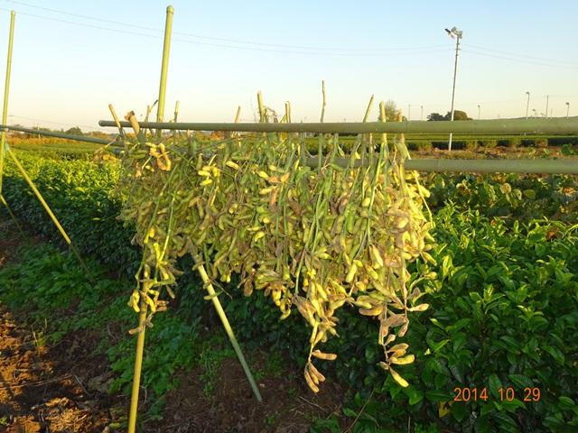 大豆の天日干しが始まった