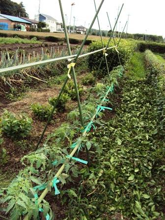 トマトの支柱建て