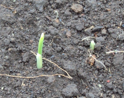 第3弾トウモロコシの発芽