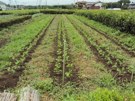 草刈りが出来てきた大豆畑