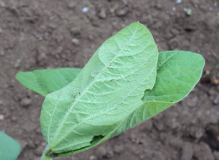 大豆の害虫が潜む