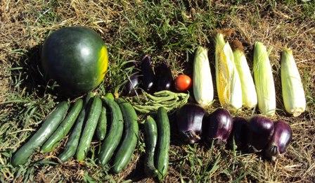今日の収穫野菜