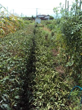 刈り込みを終えた茶の木