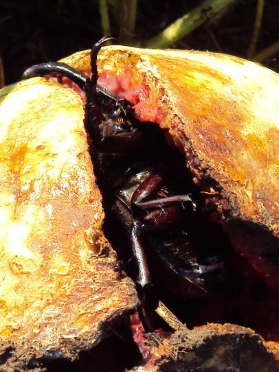 スイカの割れ目にカブトムシが