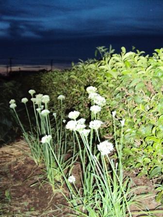 夕闇のニラの花