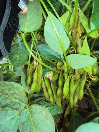 成長してきた大豆の莢