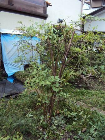 剪定したブルーベリーの木