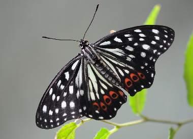 アカボシゴマダラの成虫