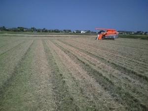 2013 稲刈り