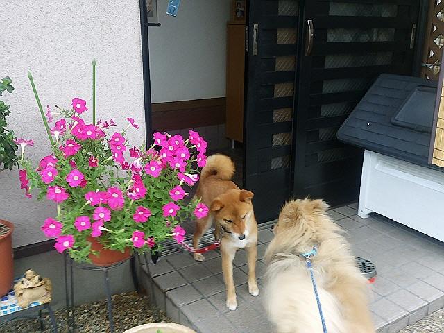 最近のまーる散歩と長田の美味しい物2(*^_^*)